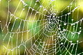 Close up of spider's web - geograph.org.uk - 956353.jpg