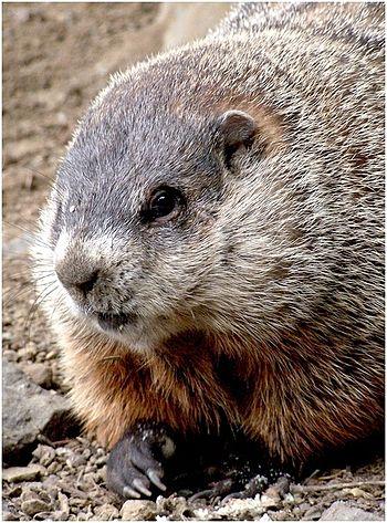 Closeup groundhog