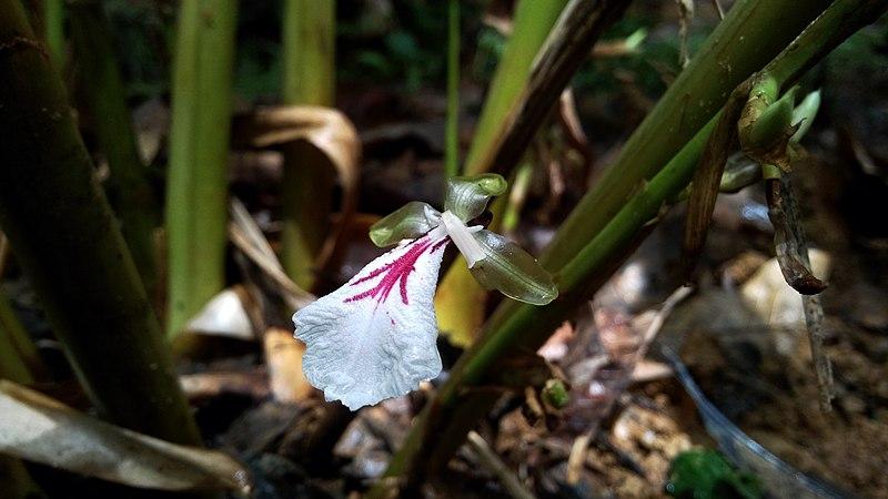 File:Closeup of Cardamom Flower.jpg