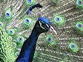 Closeup of an Indian Blue Peacock's head.jpg