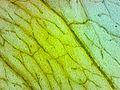 Clover Leaf 60x.jpg