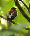 Club-winged Manakin (446750383).jpg
