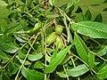 Cluster of young pecan.jpg
