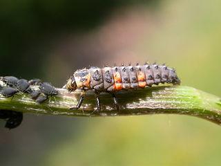 Larva lienky na voškách