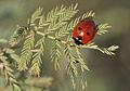 Coccinella sp - Uğur böceği - Lady bug 01.JPG