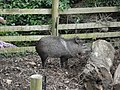 Collared peccary (Paignton Zoo).jpg