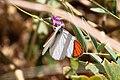 Colotis danae-Scarlet Tip ^ Tephrosia dregeana-1548 - Flickr - Ragnhild & Neil Crawford.jpg