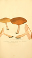 Coloured Figures of English Fungi or Mushrooms - t. 144.png
