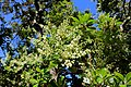 Comarostaphylis diversifolia - Mildred E. Mathias Botanical Garden - University of California, Los Angeles - DSC02959.jpg