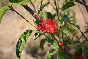 Combretum - Combretum paniculatum