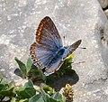 Common Blue. Polyommatus icarus f. celina. Female - Flickr - gailhampshire (1).jpg
