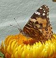 Common Brown or Australian Painted Lady, Vanessa kershawi (8503356408).jpg