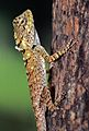 Common Garden Lizard (Calotes versicolor) (7789181158).jpg