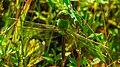 Common Green Darner (Anax junius) (42971117311).jpg