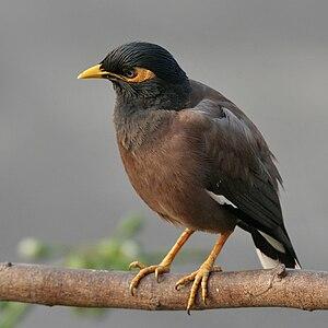 singvogel indien