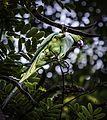 Common Parrot.jpg