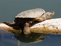 Common Snapping Turtle (Chelydra serpentina).jpg