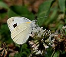 Common Wanderer I IMG 6407.jpg