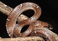 Common Wolf Snake Lycodon aulicus by Dr. Raju Kasambe DSCN7762 (28).jpg