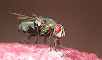 ComputerHotline - Diptera sp. (by) (6).jpg