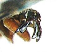 Coraebus florentinus claw.jpg
