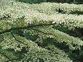 Cornus alternifolia argentea (20767775784).jpg