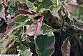 Cornus florida Cherokee Daybreak 1zz.jpg
