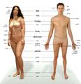 Corps humain-Être humain-Anatomie humaine.png
