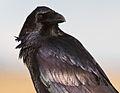 Corvus corax varius upper body.jpg