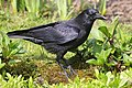 Corvus corone 121972288.jpg