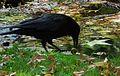 Corvus corone mit einer Walnuss 03.JPG