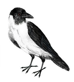 Corvus typicus.jpg