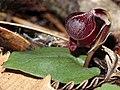 Corybas unguiculatus - cropped.jpg