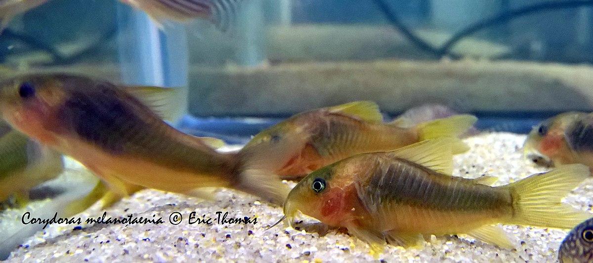 Green gold catfish - Wikipedia