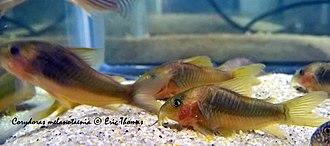 Green gold catfish - Image: Corydoras melanotaenia (four)