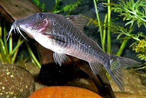 Catfish - The armor plates are evident in Corydoras semiaquilus.