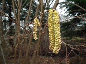 Corylus cornuta - Image: Corylus cornuta catkin Meadowbrook