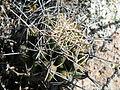 Coryphantha cornifera (5761351890).jpg