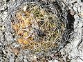 Coryphantha retusa (5736672880).jpg