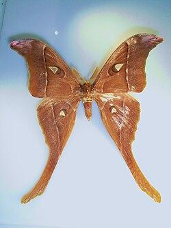 Coscinocera herculesMiskin1876.JPG
