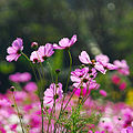 Cosmos flowers in Thailand 03.jpg