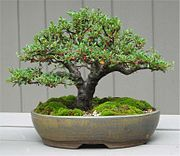 Cotoneaster bonsai by Mike.jpg