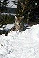Coyote057 (26331182213).jpg