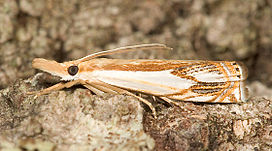 Crambus agitatellus.jpg