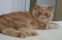 Un Exotic shorthair tabby de sept mois.