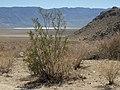 Creosote bush, Larrea tridentata (16329306630).jpg