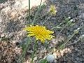 Crepis foetida inflorescence (13).jpg