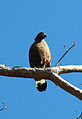 Crested Serpent Eagle resting on tree in Dehradun.jpg