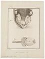Cricetus frumentarius - wangzak - 1700-1880 - Print - Iconographia Zoologica - Special Collections University of Amsterdam - UBA01 IZ20500041.tif