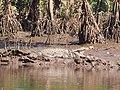 Crocodile in the banks of Vashishti River.jpg